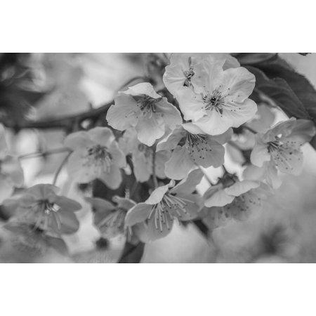 - LAMINATED POSTER Bloom Cherry Blossom Cherry Blossom Black White Poster Print 24 x 36