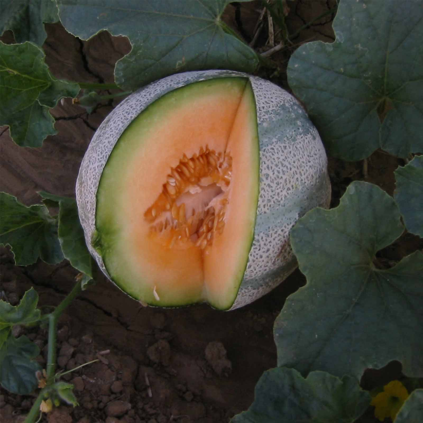 Cantaloupe Melon Garden Seeds - Planters Jumbo - 1 Lb - Non-GMO, Heirloom, Vegetable Gardening Seeds - Fruit