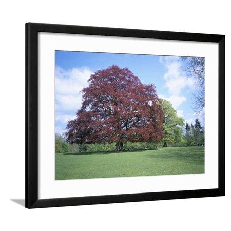 Copper Beech Tree - Copper Beech Tree, Croft Castle, Herefordshire, England, United Kingdom Framed Print Wall Art By David Hunter