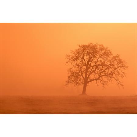 Oregon Willamette Valley View Of Oak Tree Through Fog At Sunrise Orange Haze Canvas Art - Greg Vaughn  Design Pics (38 x