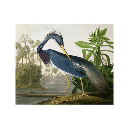 John Gould Bird (Louisiana Heron from