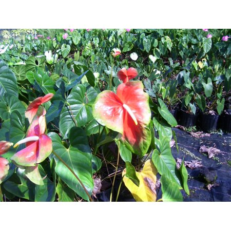 Image of Hawaii Live Plants Hawaii-outer Isle Anthurium