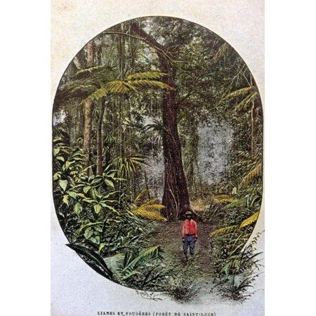 24 Art Postcards - Saint Lucia Rainforest Na Rainforest On The Island Of Saint Lucia Postcard French C1900 Rolled Canvas Art -  (24 x 36)