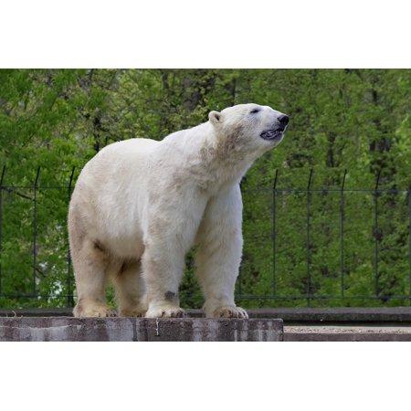 - Peel-n-Stick Poster of Feb White The Bear Mammal Predator Polar Green Poster 24x16 Adhesive Sticker Poster Print