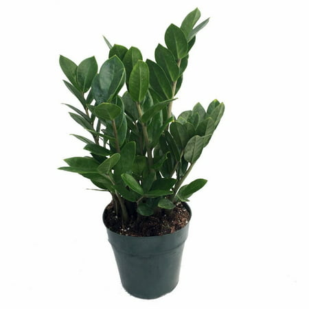 "rare zz plant-zamioculcas zamiifolia - easy to grow house plant - 4"" pot"