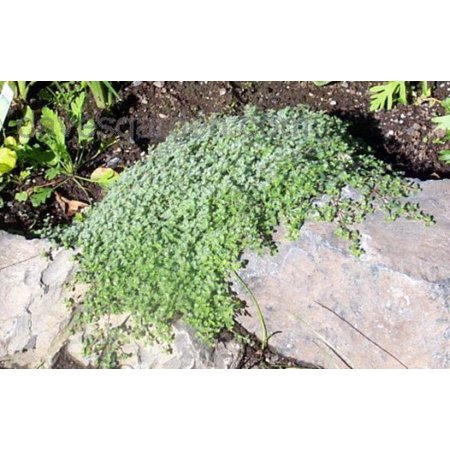 Wooly Thyme - Great Groundcover - Live Plant - Hardy - 3