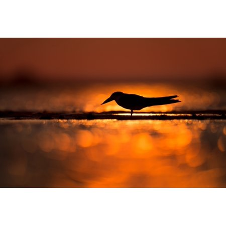 Laminated Poster Silhouette Of Bird Standing On Shore Poster Print 24 x - Silhouette Birds