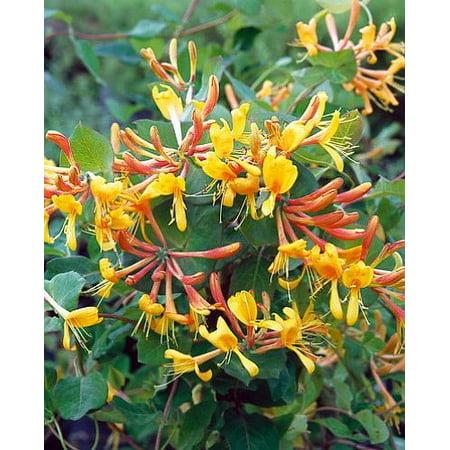 (John Clayton Climbing Honeysuckle Vine - Lonicera - 2.5