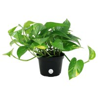 Delray Plants Live 12-inches Tall Pothos (Epipremnum aureum) Easy To Grow Houseplant ,in 6-inch Grower Pot , Great Gift