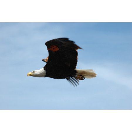 Peel-n-Stick Poster of Raptor Bald Eagle Wild Soaring Flight Bird Flying Poster 24x16 Adhesive Sticker Poster Print