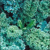 The Dirty Gardener Heirloom Siberian Kale - 1 (Siberian Kale)