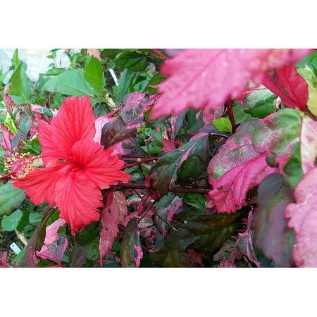 Rose Queen Hibiscus Plant 4 Pot Indoors Or Out Walmartcom