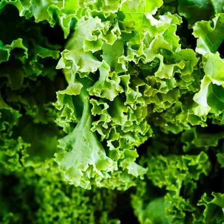 Kale Garden Seeds - Dwarf Siberian - 1 Oz - Non-GMO, Heirloom Vegetable Gardening, Sprouting & Microgreens (Siberian Kale)
