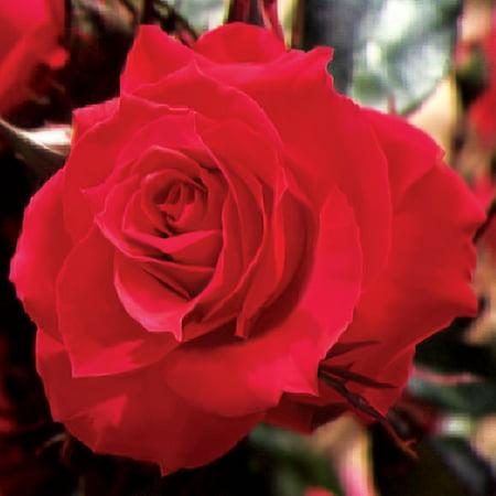 "Parade Wei Miniature Rose Bush - Fragrant/Hardy - 4"" Pot"