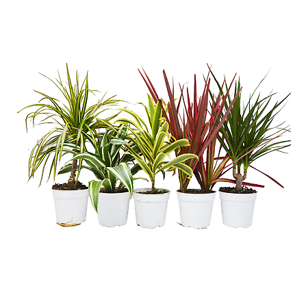 5 Different Dracaenas Variety Pack - Live House