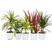 5 Different Dracaenas Variety Pack - Live House Plant
