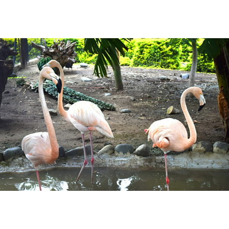 LAMINATED POSTER Feathers Nature Flamingo Ave Turkey Color Poster Print 24 x (Flamingos Color)