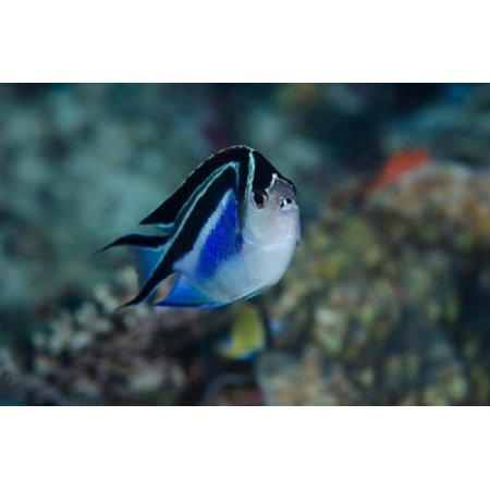 Bay Frontal view of angel fish Poster Print by Jaynes Gallery ()