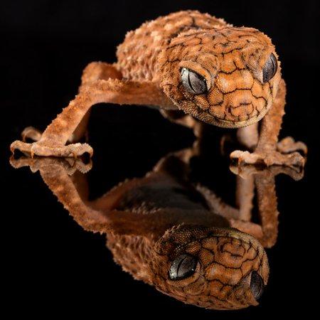 Laminated Poster Gecko Knob-Tailed Rough Knob Australia Lizard Poster Print 11 x