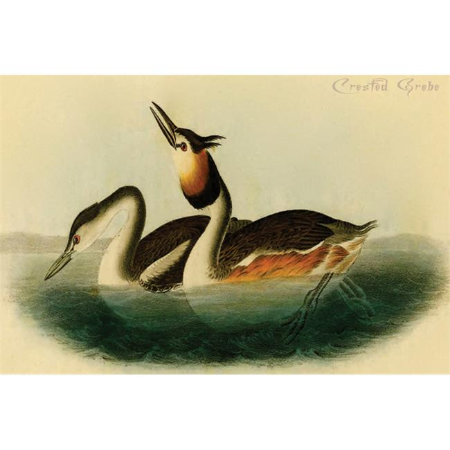 Buy Enlarge 0-587-64731-LP20x30 Crested Grebe- Paper Size P20x30