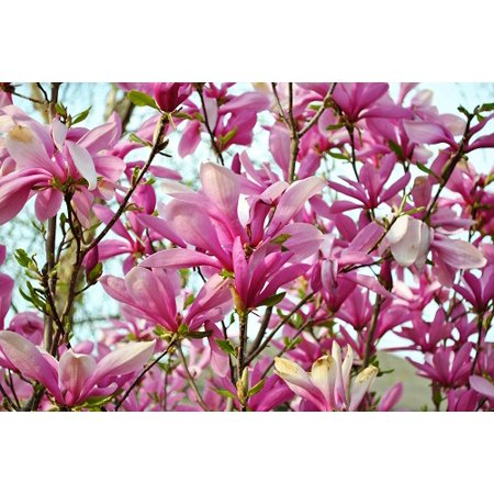 Outdoor Bonsai Tree - Ann Star Magnolia Tree - Outdoors or Bonsai - Fragrant - 4