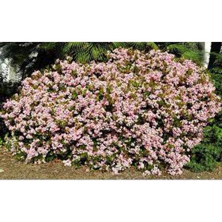 Image of Expert Gardener 2.5qt Indian Hawthorn