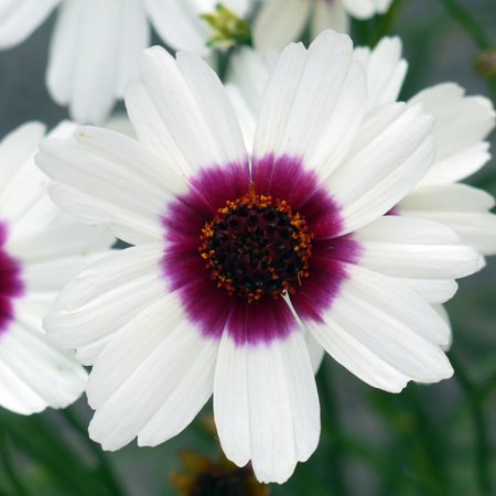 Ice Wine Satin & Lace Coreopsis Perennial Plant - Drought Resistant - Gallon Pot ()