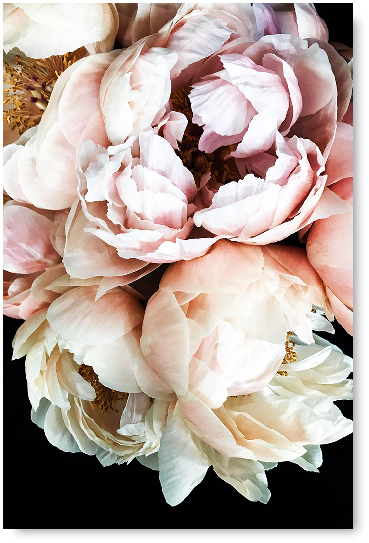 Pink Peonies Peony Art Print Poster or Canvas Flowers Floral Wall Art Roses