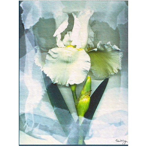 "Trademark Art ""Sheer White Iris"" Canvas Art by Kathie McCurdy"
