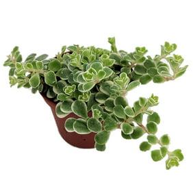 China Doll Plant Radermachera Sinica Easy House Plant 2 5 Pot Walmart Com Walmart Com