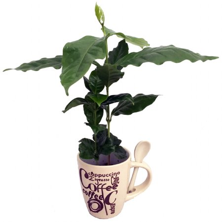 Cup of Coffee....Coffee Plant - Beige Ceramic Coffee Mug/Spoon/Live Coffee