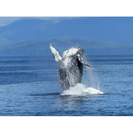 Canvas Print Mammal Nature Natural Spectacle Humpback Whale Stretched Canvas 10 x (Hang Ten Spectacles)