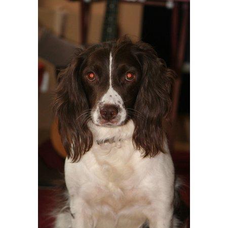 Canvas Print Pet English Springer Spaniel Dog Breed Animal Stretched Canvas 10 x 14 Dog Breeds Springer Spaniel