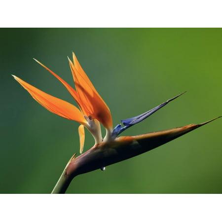 Paradise Costa Rica - Bird of Paradise Flower (Strelitzia), Costa Rica Print Wall Art By Gregory Basco