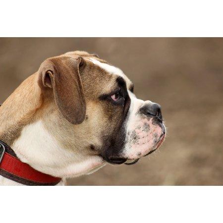 Canvas Print Head Large Old English Bulldog Dog Moloss Stretched Canvas 10 x 14 (Olde English Bulldogs)