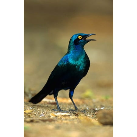 South Africa Kruger Greater Blue Eared Starling bird Canvas Art - David Slater  DanitaDelimont (12 x (Birds Of Africa South Of The Sahara)