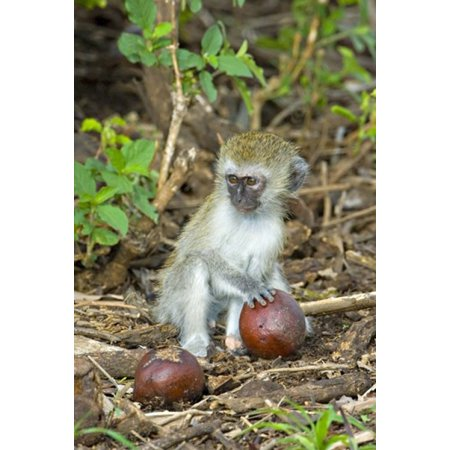 Vervet Monkey Holding A Seed Pod Tarangire National Park Arusha Region Tanzania  Chlorocebus Pygerythrus  Poster Print By Panoramic Images  17 X 24