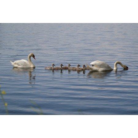 Framed Art for Your Wall White Animal Swan Family Bird Pond Chicks Water 10x13