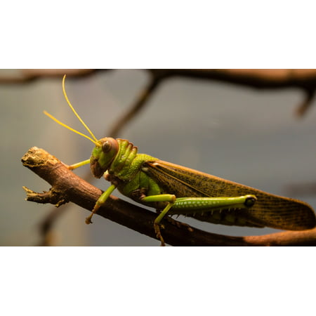 LAMINATED POSTER Wood Giant Nature Insect Grasshopper Antennae Poster Print 24 x 36 (Giant Grasshopper)