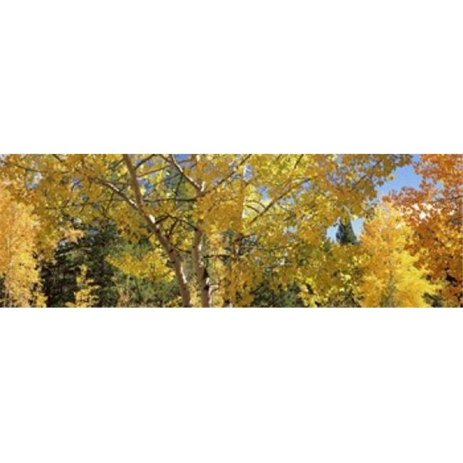 Images panoramiques Arbres PPI118777L Aspen en automne Colorado USA copie d'affiche par images panoramiques - 36 x 12 - image 1 de 1