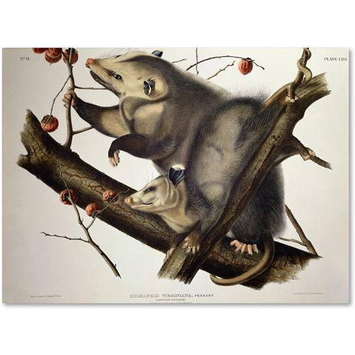 """Trademark Fine Art """"Virginian Opossum"""" Canvas Art by John James Audubon"""