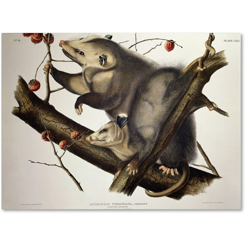 "Trademark Fine Art ""Virginian Opossum"" Canvas Art by John James Audubon"