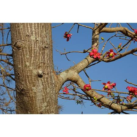 LAMINATED POSTER Flower Tree Bombax Ceiba Shimul Cotton Tree Poster Print  24 x 36