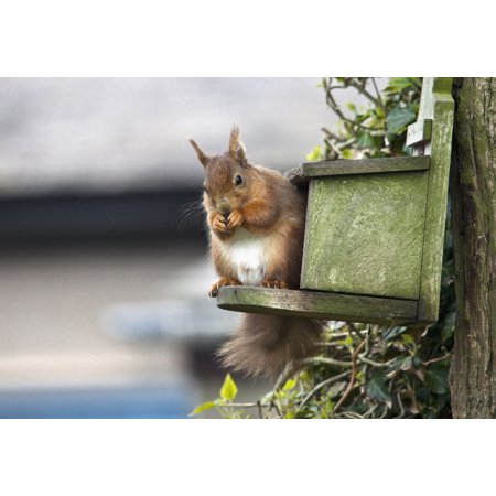 England Trunks - Red Squirrel (Sciurus Vulgaris) Sitting On A Bird House Hung On A Tree Trunk Northumberland England Stretched Canvas - John Short  Design Pics (18 x 12)