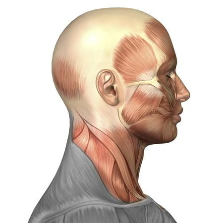 Anatomy Of Human Face Muscles Side View Canvas Art Stocktrek