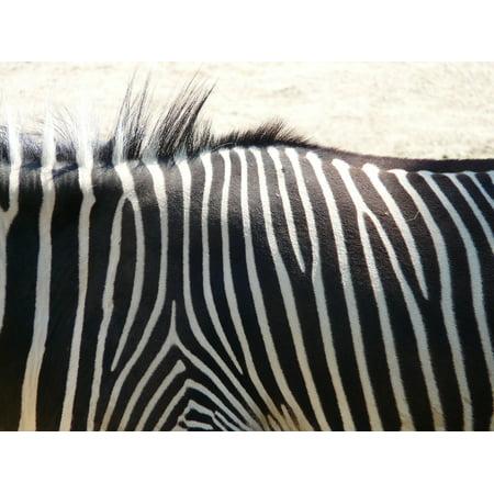 Stretch Zebra - canvas print plains zebra animal zebra africa perissodactyla stretched canvas 10 x 14