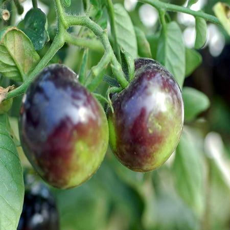 Tomato Garden Seeds - Indigo Rose - 100 Seeds - Non-GMO, Heirloom, Vegetable Gardening Seed
