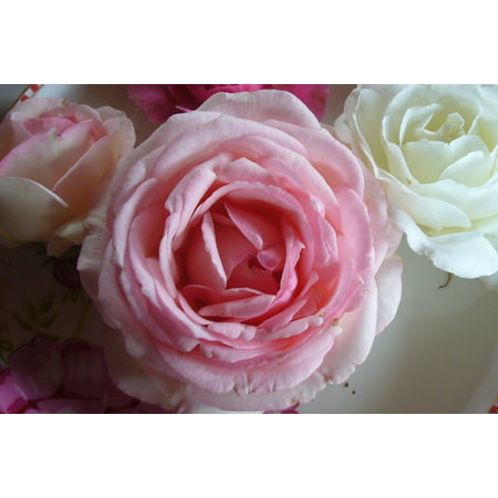 Canvas Print Roses Open Rose Close Rose Blooms Pink Flowers Stretched Canvas 10 x (Flowers That Open And Close With The Sun)