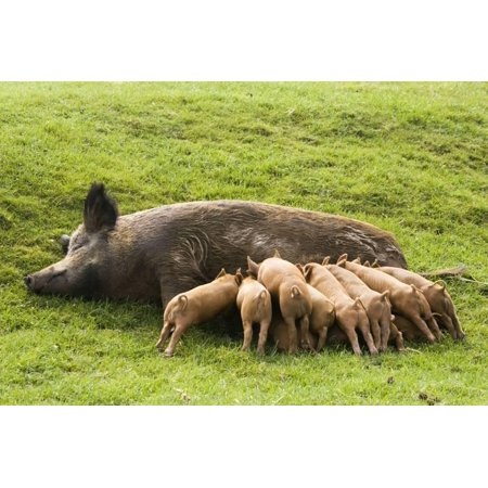 Large Iron Wall - Iron Age Pig with Large Litter of Suckling Piglets Print Wall Art