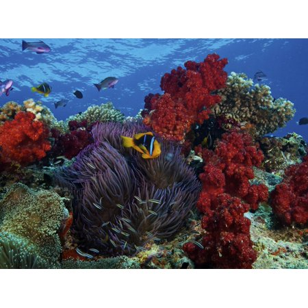 Orange-finned Clownfish And Soft Corals On Colorful Reef, Fiji Print Wall Art By Stocktrek